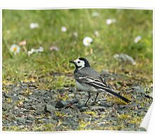 White Wagtail Poster