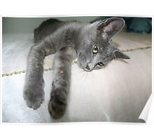 Russian Grey Cross Tabby Cat Poster