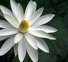 Star Like, Star Bright ~ Night Bloomer by Kerryn Madsen-Pietsch