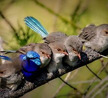 Wrens by Julie Holland