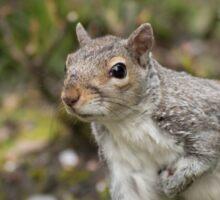 Grey Squirrel Sticker