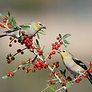 Goldfinches in Yaupon Holly Tree by Bonnie T.  Barry