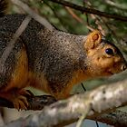 red squirrel 1  2016 by RosiesPhotos
