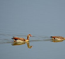 Egyptian Geese by YussefRafik