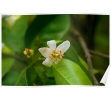 Orange blossom on a tree in a garden  Poster