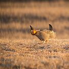Prairie Chicken 2013-15 by Thomas Young
