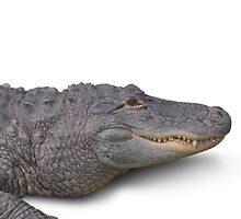 Alligator Isolated on White by ezumeimages