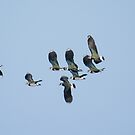 Lapwings in flight by M.S. Photography/Art
