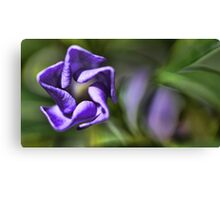 Beauty Unfolding - Periwinkle Blossom -- Bridgton,  Maine Canvas Print