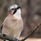 Jay by Ellesscee