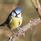 Blue Tit on Branch by Ellesscee
