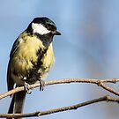 Great Tit on Branch by Ellesscee