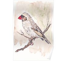 Red-billed Quelea Juvenile Male Poster