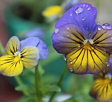Pansies after Watering by Martha Sherman