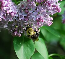 Collecting Nectar from the Lilacs by Diane Blastorah