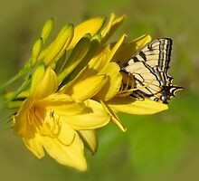 Lily Lover - Butterfly on Daylily by MTBobbins