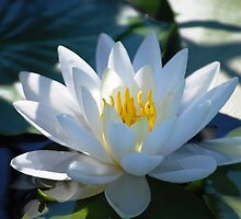 Water Lily by Diane Blastorah