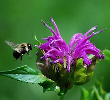 Flight of the Bumble Bee by Diane Blastorah