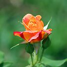Colorful Rose by Bob Hardy