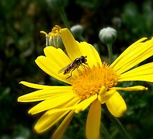 daisy bee by Jan Stead JEMproductions