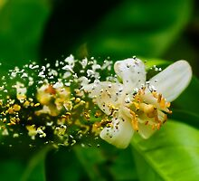 Digitally manipulated Orange blossom on a tree in a garden  by PhotoStock-Isra
