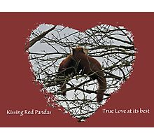Kissing Red Pandas Photographic Print