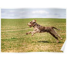 Brown Roan Italian Spinone Dog Poster