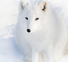 Fluffy - Arctic Fox by Yannik Hay