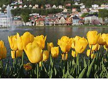 Tulips in Norway by milkyjoe90