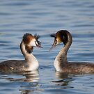 Great Crested Grebe - Courtship Dance by Ellesscee