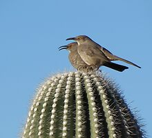 Curve-billed Thrashers on a Saguaro by Ingasi