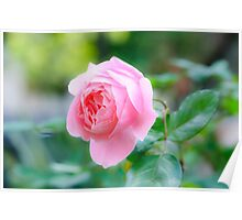 perfect pink garden rose  Poster