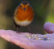 Robin being fed by Deb Vincent