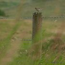 Sparrow on Fence Post by ldredge