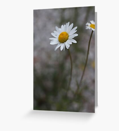 Tobermory Daisy In Summer Greeting Card