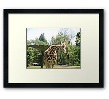 Giraffe hungry Framed Print