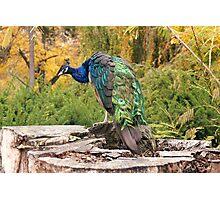 Peacock by RI Arts Photographic Print