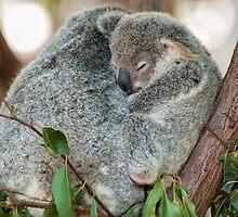 Koala Cuddles by Kristin Repsher