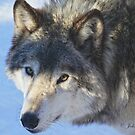....the eye of the Wolf ....(click to see large) by John44