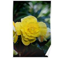 Yellow Begonia Blooming, #flower, #yellow, #macro, #redbubble,  Poster