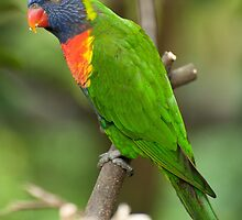 A Lorikeet in Singapore by Kristin Repsher