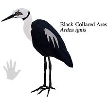 Black-Collared Ares Heron by ConorDaly