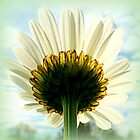 Underneath my petals...Ox Eye Daisy  by ©The Creative  Minds