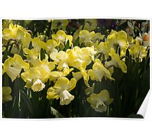 Sunny Daffodil Garden - Enjoying the Beauty of Spring Poster