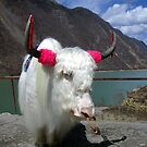 chinese Yak by lotusblossom