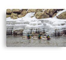 Mallards Swim By Icicles Canvas Print