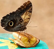 Tropical Owl butterfly by Sara Sadler