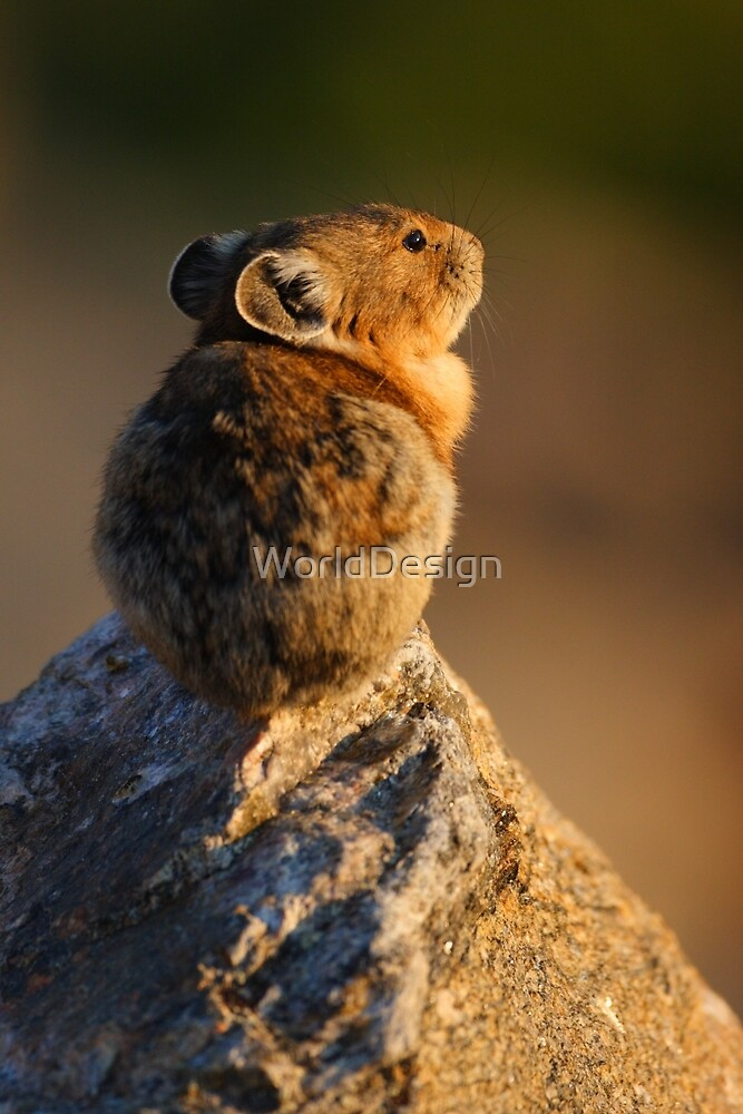 Sunset Pika by Sheri L Gladish