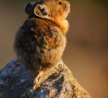 Sunset Pika by William C. Gladish, World Design