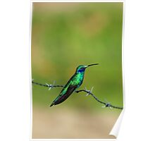 Hummingbird on Barbed Wire Poster